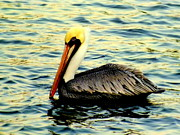 Coastal Birds Prints - Pelican Waters Print by Karen Wiles