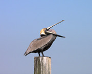 Al Powell Photography Usa Posters - Pelican Yawn Poster by Al Powell Photography USA