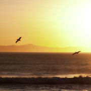 Pelicans At Sunset Print by John Rodriguez