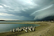 Pelicans Before The Storm Print by Heng Tan