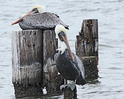 Luana K Perez - Pelicans Enjoying Lake...