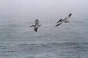 Foggy Day Digital Art Prints - Pelicans Fishing On  A Foggy Day Print by Tom Janca