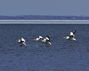 Appleton Prints - Pelicans Flight Print by Carol Toepke