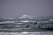 Photos Of Birds Framed Prints - Pelicans In A Row Framed Print by Skip Willits