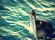 Sea With Waves Posters - Pelicans New Hair Do Poster by Susanne Van Hulst
