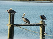 Seabirds Metal Prints - Pelicans On A Break Metal Print by Mel Steinhauer
