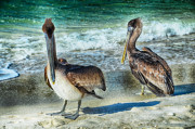Elaine Manley - Pelicans On Beach