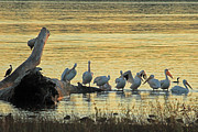 Peri Ann Michels - Pelicans on Grand Lake