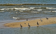 Puerta Vallarta Prints - Pelicans On The Sand Bar Print by Dawn Harris