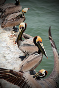 Golf Of Mexico Prints - Pelicans Print by Tina Miller
