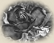 Rose Petals Digital Art Framed Prints - Pencil and Ink Rose Framed Print by Kaye Menner