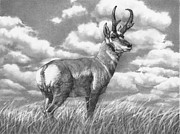 Graphite Drawings Originals Art - Pencil Drawing Wyoming Pronghorn Antelope by Ralph Murray