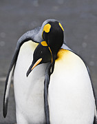 Penguin Metal Prints - Penguin Love Metal Print by Carol Walker