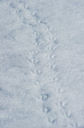Bird Tracks Photos - Penguin Tracks... by Nina Stavlund