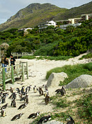 Seacapes Prints - Penguins in MPA or Marine Protected Area Simonstown South Africa Print by Robert Ford