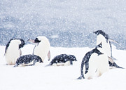 Penguin Metal Prints - Penguins in the Snow Metal Print by Carol Walker