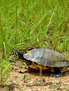 Maria Urso  - Peninsula Cooter in the Grasslands