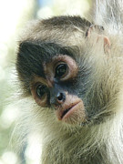 Spider Species Posters - Pensive Young Spider Monkey Poster by Margaret Saheed