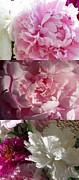 Impressionism Acrylic Prints Photos - Peonies collage 2 by France Laliberte