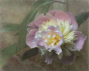 Off-white Framed Prints - Peony Framed Print by Angie Vogel