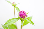 Jonathan Welch Framed Prints - Peony Bud Framed Print by Jonathan Welch