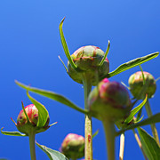 Realistic Photo Prints - Peony Buds Print by Joann Vitali