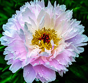 Dew Framed Prints - Peony Flower Framed Print by Edward Fielding