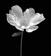 Monotone Prints - Peony Flower Portrait Black and White Print by Jennie Marie Schell