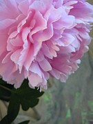 Serene Photos - Peony Glory by Shirley Sirois