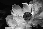Flower Design Photos - Peony Glory by Terry Rowe