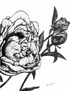 Flowers Drawings - Peony in Bloom by Celia Fedak