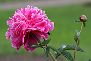 Inna Samoilova - Peony