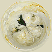 Cream Color Posters - Peony Orb Poster by Cindi Ressler