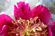 Karen Adams Acrylic Prints - Peony Painterly Acrylic Print by Karen Adams