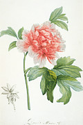 Redoute Paintings - Peony by Pierre Joseph Redoute