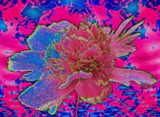 Quad Prints - Peony Rainbow Print by Margaret Newcomb