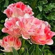Byron Varvarigos - Peony Tulips square frame