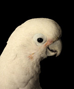 Pet Cockatoo Photos - Peppermint by Megan Dirsa-DuBois