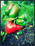 Lee Farley Prints - Peppers 1 Print by Lee Farley