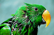 Tropical Bird Art Framed Prints - Peppi. Green Parrot After Washing Framed Print by Jenny Rainbow