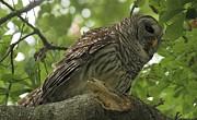 Adam Jewell - Perched Barred Owl