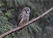 Owl Pyrography Metal Prints - Perched Barred Owl Metal Print by Daniel Behm