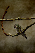 Neotropics Prints - Perched Hummingbird Print by Anne Rodkin
