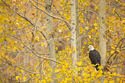 Eagle Metal Prints - Perched in the Colors of Autumn Metal Print by Tim Grams