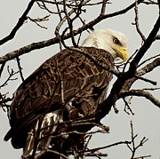 American Bald Eagle Photos - Perched On High by Thomas Young