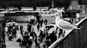 Observer Prints - Perched Seagull in Paris Print by Olivier Sohn