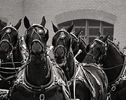 Joseph Duba - Percheron Horse Team v.2...