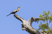Cypress Stump Photos - Perching Bird by Madison Baltodano