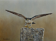 Steen Framed Prints - Peregrine Falcon 1 Framed Print by Erna Goudbeek