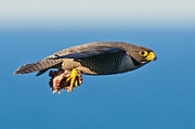 Hunting Bird Metal Prints - Peregrine Falcon 2 Metal Print by Michael  Nau
